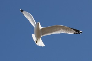 Gull in flight. © Marie Jordan