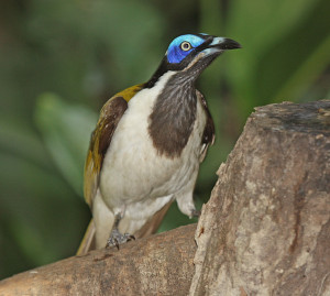 Blue-faced Honeyeater 1114