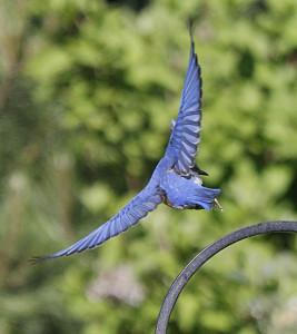 bluebird MJ
