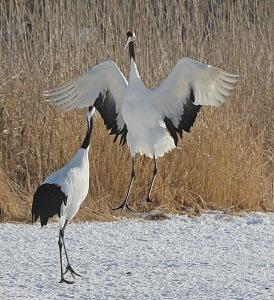 Dancing Cranes_8198