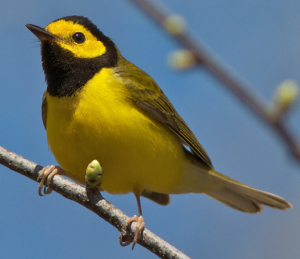 Hooded Warbler DH crop