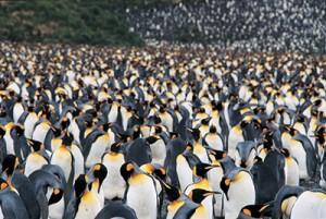 Steve_Morello-300x201 Emperor Penguins