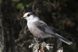 Umbagog gray jay - Copy