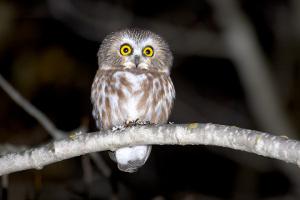 Saw-whet Owl-2 - Patrick Keenan