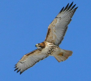 red_tailed_hawk_2 cornell