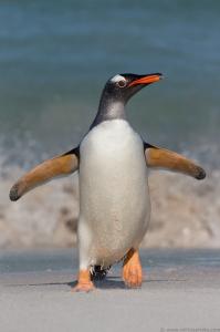 Michael Milicia -Gentoo Penguin