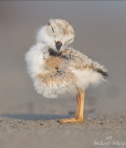 Michael Milicia - Piping Plover Chick