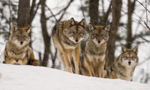 Coyotes - Pierre Giard