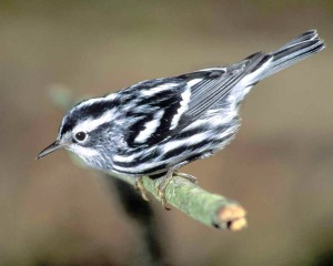 Black-and-white_Warbler_audubon.org