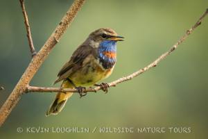 Bluethroat-1