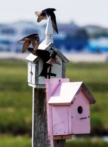 purple-martin-small-house