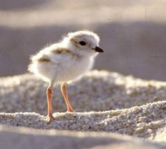 Piping Plover - MA 3
