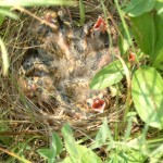 Young Bobolinks in the nest